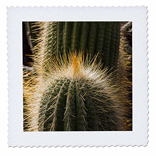 3dRose Danita Delimont - Cactus - Spain, Canary Islands, Lanzarote, Guatiza, Cactus - 16x16 inch quilt square (qs_257887_6) by 3dRose