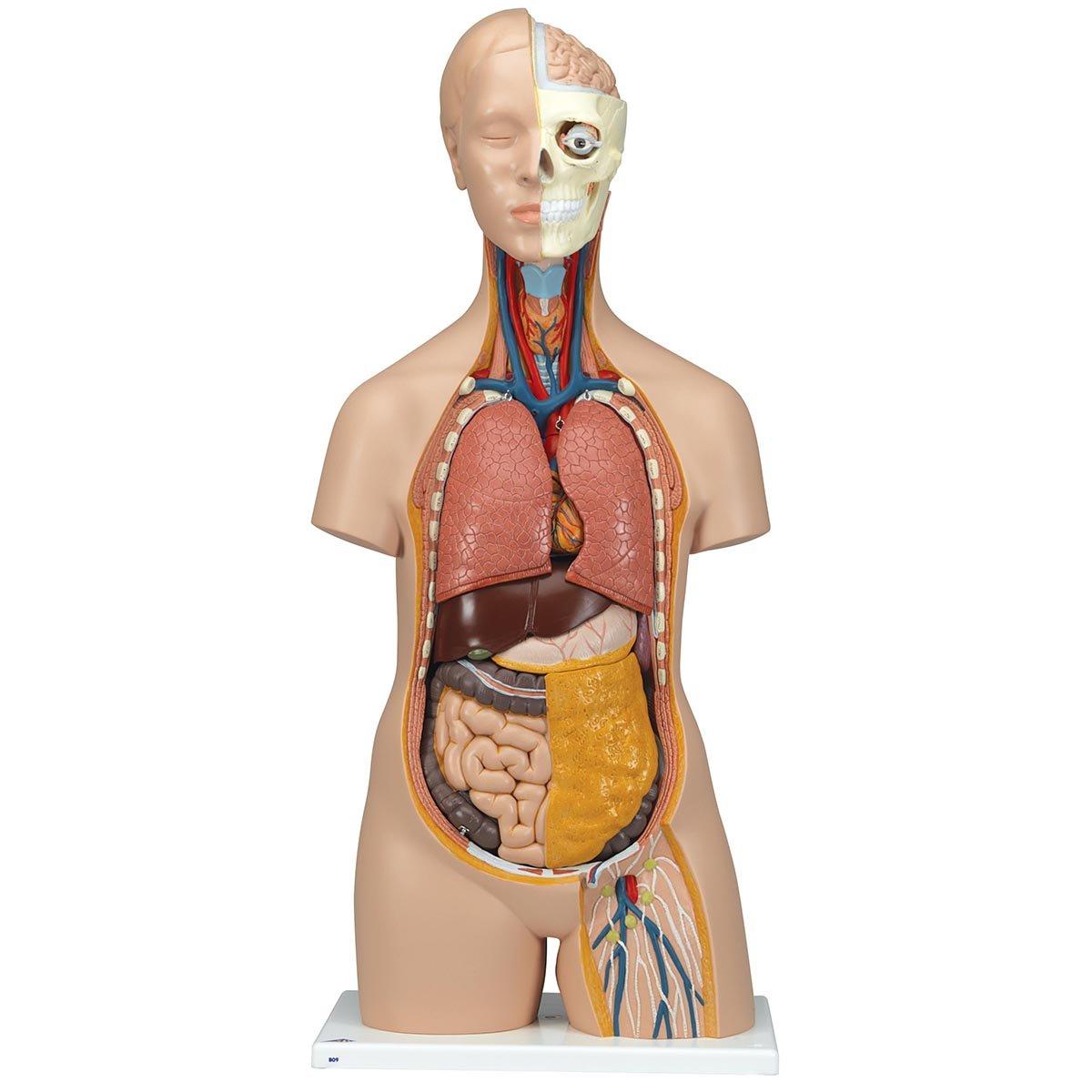3B Scientific Menschliche Anatomie - Geschlechtsloser Standard-Torso ...
