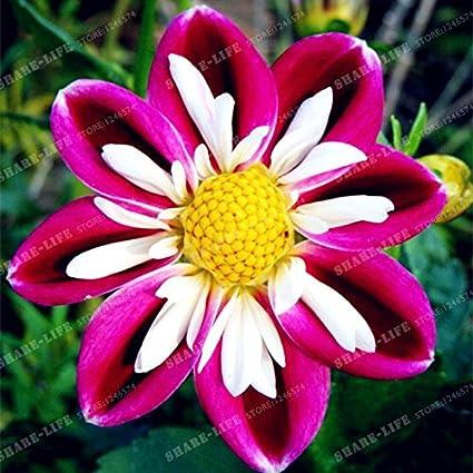 Amazon True Color Dahlia Bulb Flower Not Dahlia Seeds Flower