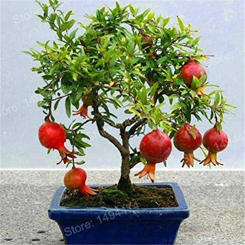 bonsai fruit - 2