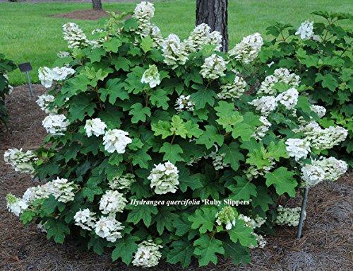 Pee Wee Oakleaf Hydrangea Perennial - Dwarf White - 4