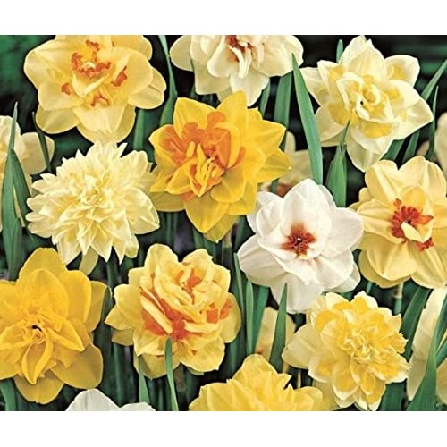 "(2) Perennials ""Deluxe Doubles Daffodil Mix"" New Flower Bulbs supplier"