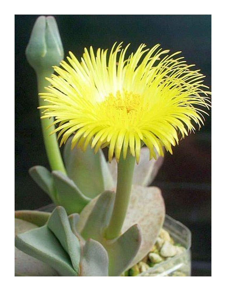 Cheiridopsis peculiaris - succulent - 20 seeds Exotic Plants