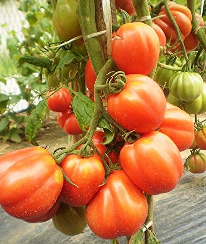 20 seeds Aladdin's Lamp Tomato! RARE! WE SELL OVER 200 KINDS OF TOMATOES!