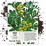 Seed Needs, Rue Herb (Ruta graveolens) 200 Seeds Non-GMO