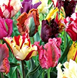 Mixed Parrot Tulips - 10 bulbs