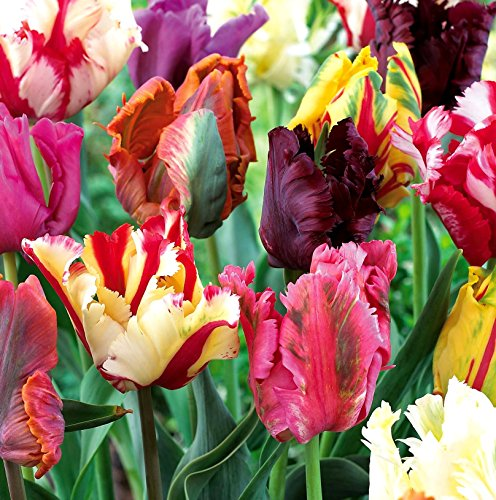 Mixed Parrot Tulips - 10 ()