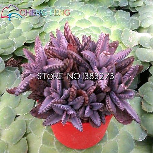 2016 Semillas nueva venta 50pcs Kalanchoe Bonsai rara flor jard/ín de la purificaci/ón del aire de interior del pote Novel Suculentas Plantas nave libre