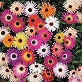 500 Ice Plant Livingston Daisy Seeds