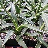 AGAVE IMPRESSA CACTUS CACTI SUCCULENT REAL LIVE PLANT
