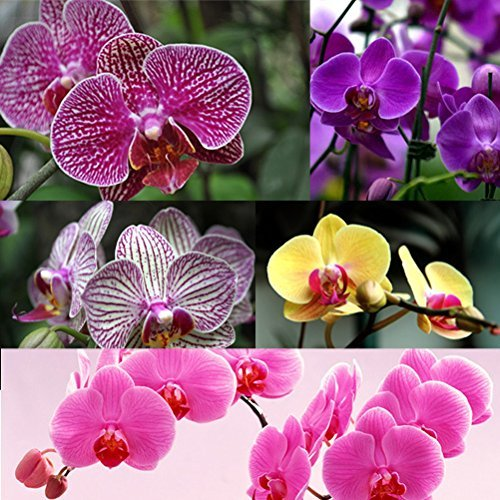 78e4c48932a0 low-cost Higarden 10 colors flower seeds orchid seeds Butterfly ...