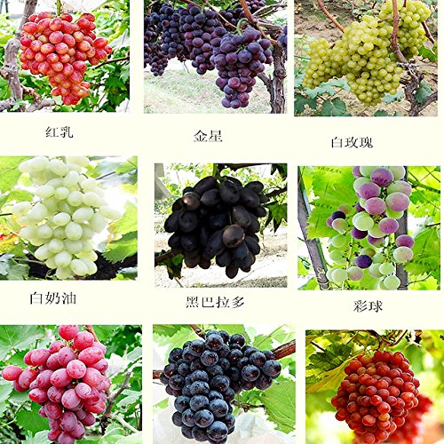 red grape seeds - 3