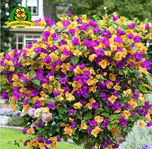 purple crepe myrtle - 9