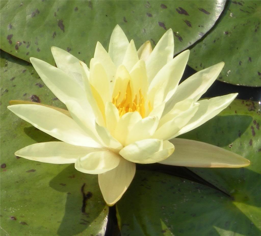 Amazon 10 yellow lotus sacred water lily lily pad asian amazon 10 yellow lotus sacred water lily lily pad asian water lotus nymphaea ampla flower seeds flowering plants patio lawn garden dhlflorist Images