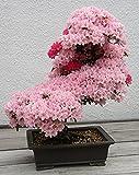 Prunus Serrulata Japanese Sakura Flowering Cherry Bonsai Tree Seed