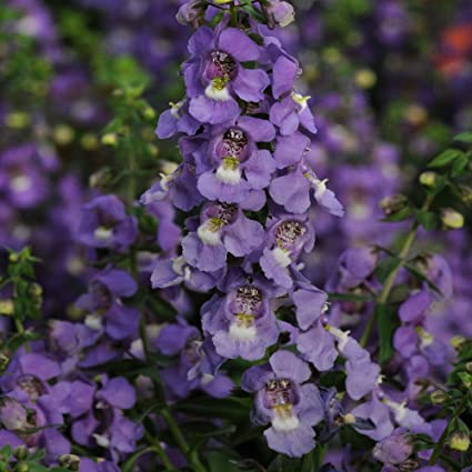 Amazon Com Outsidepride Angelonia Serena Blue Flower Seed 30
