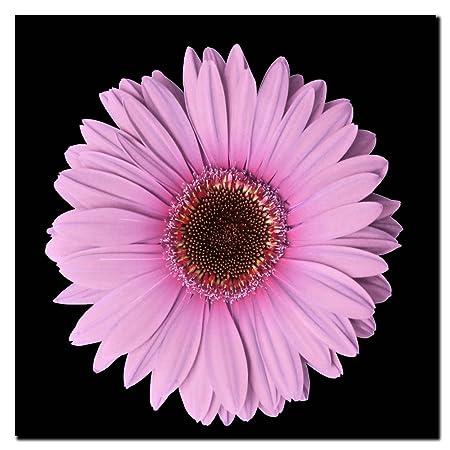 Pink Gerber Daisy, 24×24-Inch Canvas Wall Art