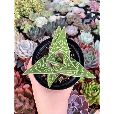 "AchmadAnam - Live Plant - 3.5"" Variegated Partridge Breast Aloe. E12 : Garden & Outdoor"