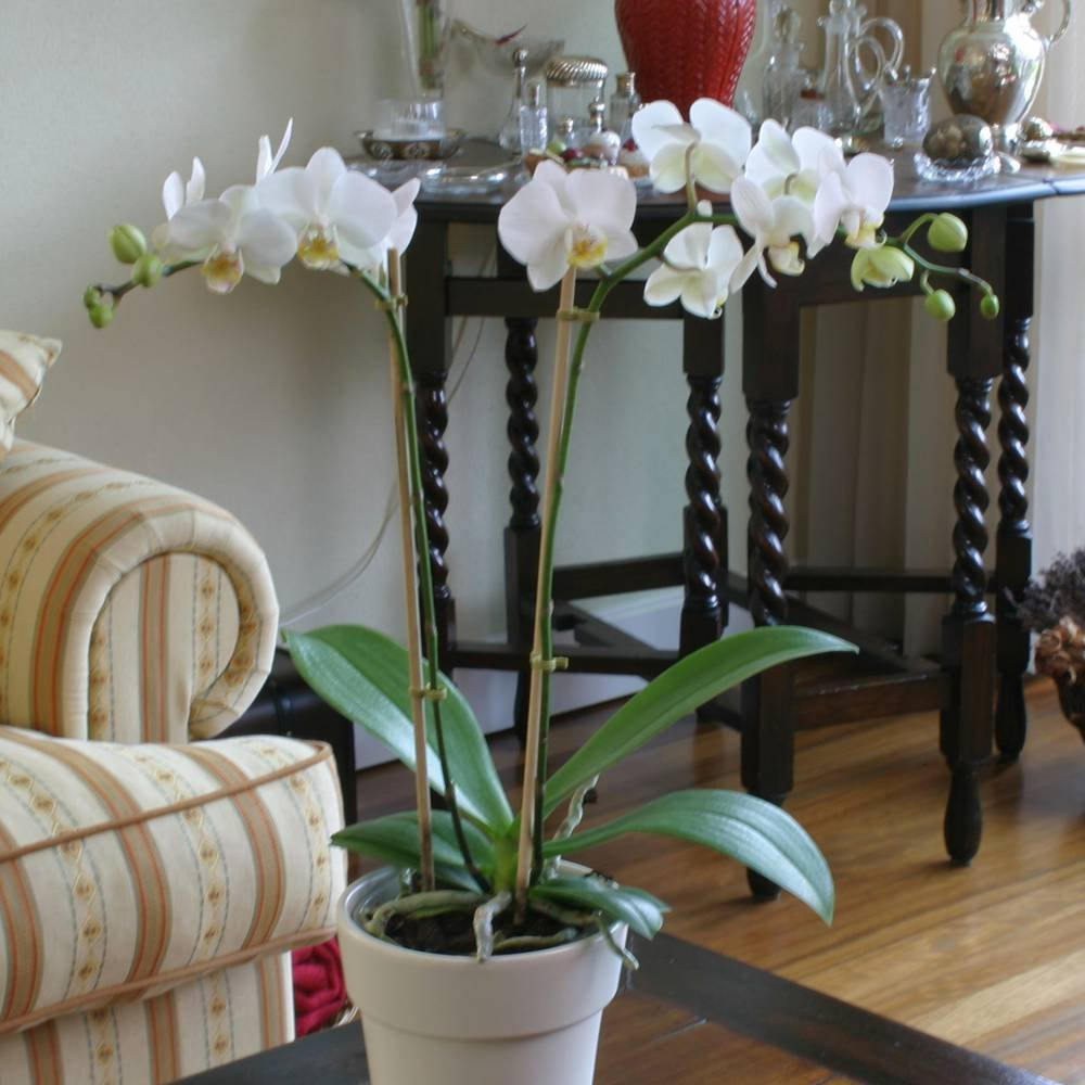 Phalaenopsis Moth orchid White - 1 plant Gardens4you