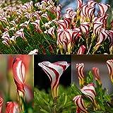 Potato001 100Pcs Oxalis Versicolor Flowers Seeds Rare Flowers Garden Home Plants Decor