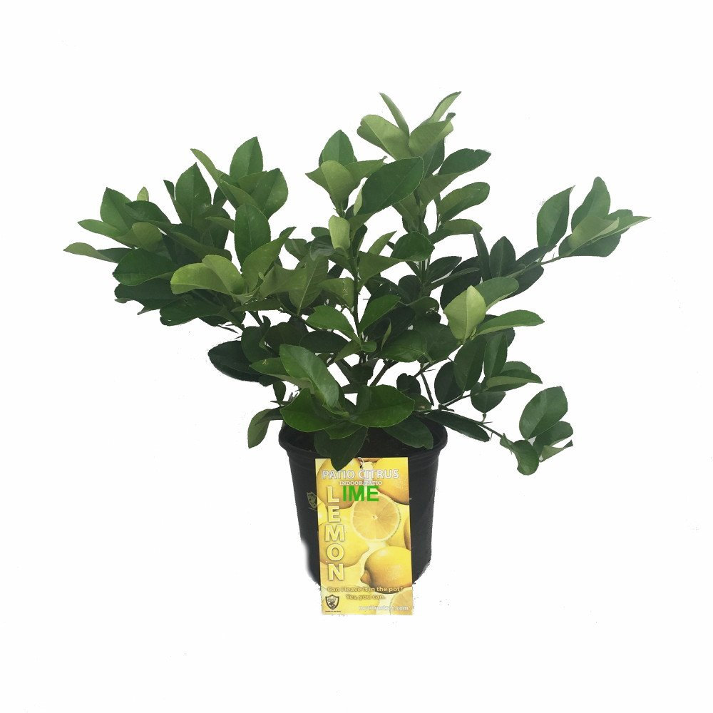 Cocktail Tree-Meyer Lemon/Key Lime-8'' Pot -No Shipping to TX, FL, AZ, CA, LA, HI