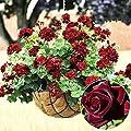 dzsntsmgs 20 Pcs Rare Geranium Flowers Seeds Rose Pelargonium Plant Perennial Decoration Geranium Seeds, Gardening, Easy to Grow, Garden Decor