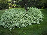 Ivory Halo Variegated Redtwig Dogwood - Live Plant - 1 Trade Gallon Container