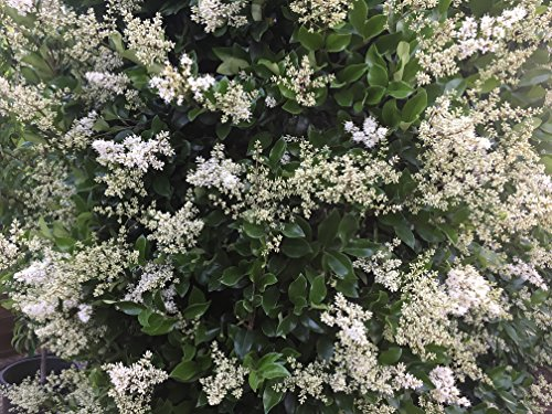 Ligustrum Waxleaf Privet - 60 Live Plants 2'' Pot Size - Evergreen Privacy Hedge by Florida Foliage (Image #5)