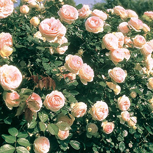 Eden Climber Rose Bush Reblooming Pink Climbing Rose Grown Organic 4