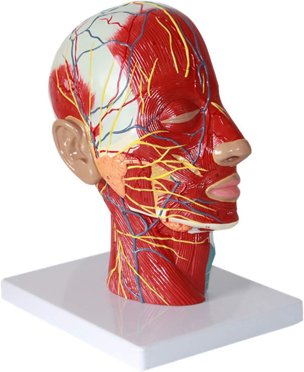ティーチングデモンストレーション用のデジタル注釈、カラー、とザ・ヘッドモデル、血管神経モデル、頭解剖モデル、脳モデルの矢状断面