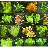 105 plantes equatiques de couleur rouge et 15 Bouquets de plantes d´aquarium