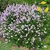 Lumos80 LITTLELEAF Lilac Syringa Microphylla - 25+ Seeds