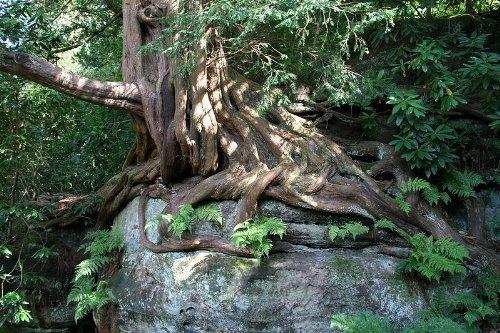 Eibe (Taxus baccata) 150 Samen (Heimischer Baum - Winterhart) Selten Rar > Auch Bonsai geeignet Samenchilishop