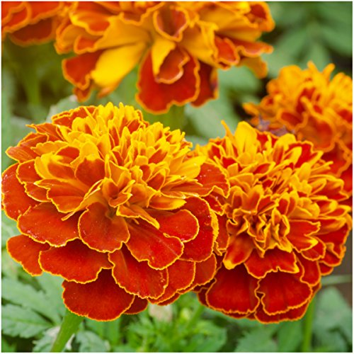 package-of-500-seeds-double-fiesta-french-marigold-tagetes-erecta-open-pollinated-seeds-by-seed-need