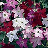 FLOWERING TOBACCO -5000 SEEDS - Mixed sensation ,Nicotiana Alata Flowers seed