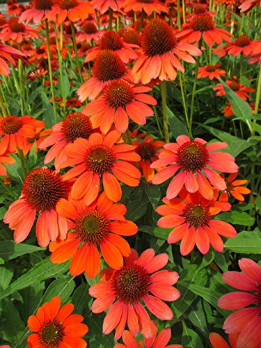 Adobe Orange Sombrero Coneflower Perennial - Echinacea - Gallon Pot (Echinacea Coneflower Plant)