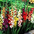 KOUYE GardenSeeds- 50pcs Giant Gladiolus Collection, Garden Parrot Gladiolus Blend Onions Gladiolus Flowers Seed Hardy Perennial Ornamental Flowers for Barkon, Garden