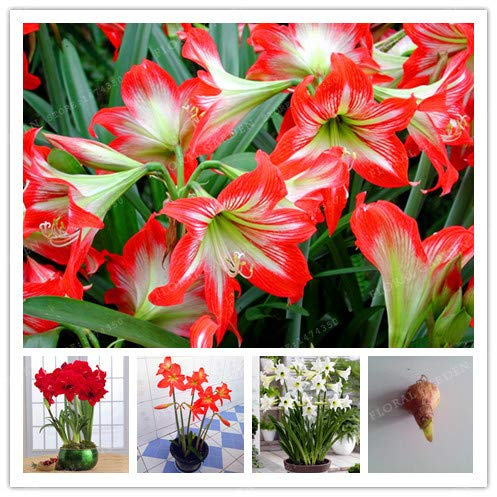 (Flower Bulbs Planting Flower Bulbs True Color Mix Hippeastrum Rutilum Bulbs,(Bonsai),Amaryllis Flowers Symbolizes Love,Flower Plant-2 Bulbs (Mix Color))