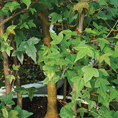 Brussel's Bonsai Live Trident Maple Forest 7 Outdoor Bonsai Tree - 3 Years Old; 8'' to 14'' Tall with Decorative Container by Brussel's Bonsai (Image #1)