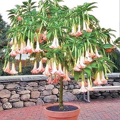 Mix Color Datura Flower Seeds Datura Mandala Bonsai Seed Flower 100 seeds//bag