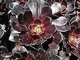 Succulent Plant Aeonium Arboreum Alropurpureum or Black Rose Zwartkop, exquisite deep tones of purple with green shading at its center.