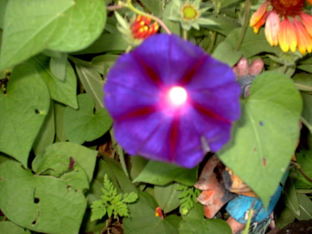 100 PURPLE MORNING GLORY Imopea Nil Flower Vine Seeds *Comb S/H