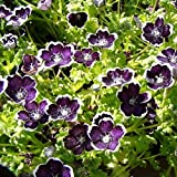 Nemophila Seeds - Penny Black - Packet, Blooms Early Spring/Deep Purple Flowers with White Edge