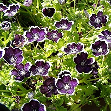 Amazon Com Nemophila Seeds Penny Black Packet Blooms Early