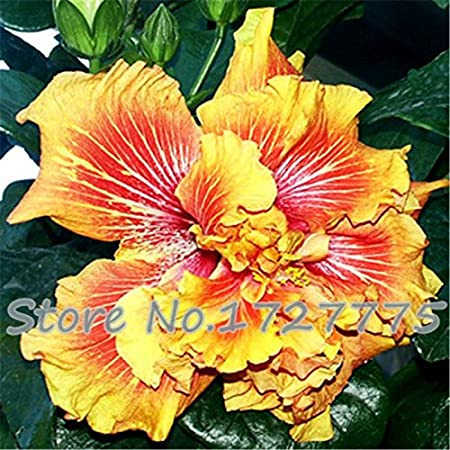 On Sale 200pcs Hibiscus Seeds 24kinds Hibiscus Rosa Sinensis