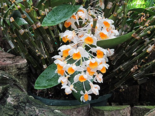 Dendrobium thyrsiflorum from the Orchid family with more than 28000 species .