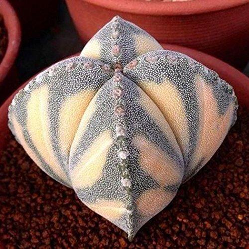 Meharbour 100pcs Rare Cactus Seeds Bonsai Perennial Succulent Plants Seeds for Home Office