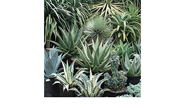 10 Agave mix seeds *Easy grow succulent CombSH C34 Care free