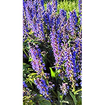 Blue Sage SALVIA BULK Attracts Butterflies CONTAINERS Beds 400 Seeds