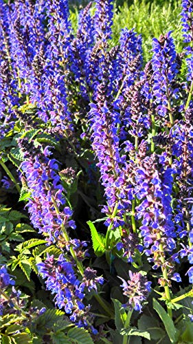 (Salvia nemerosa 'May Night' (Meadow Sage) Perennial, purple flowers, 1 - Size Container)
